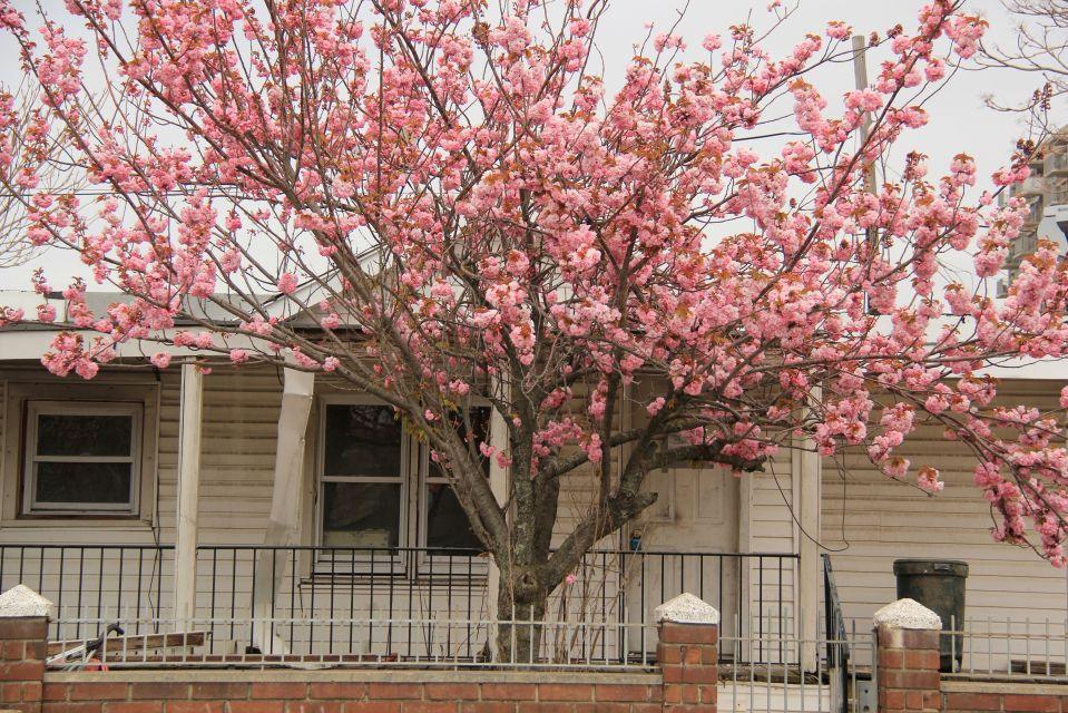 IMG_5108/blossom tree, Rockaway Beach. PA*F