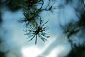 Conifer in blue bokeh