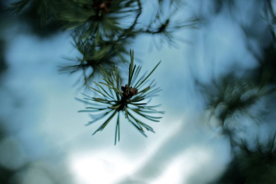 Conifer in blue bokeh