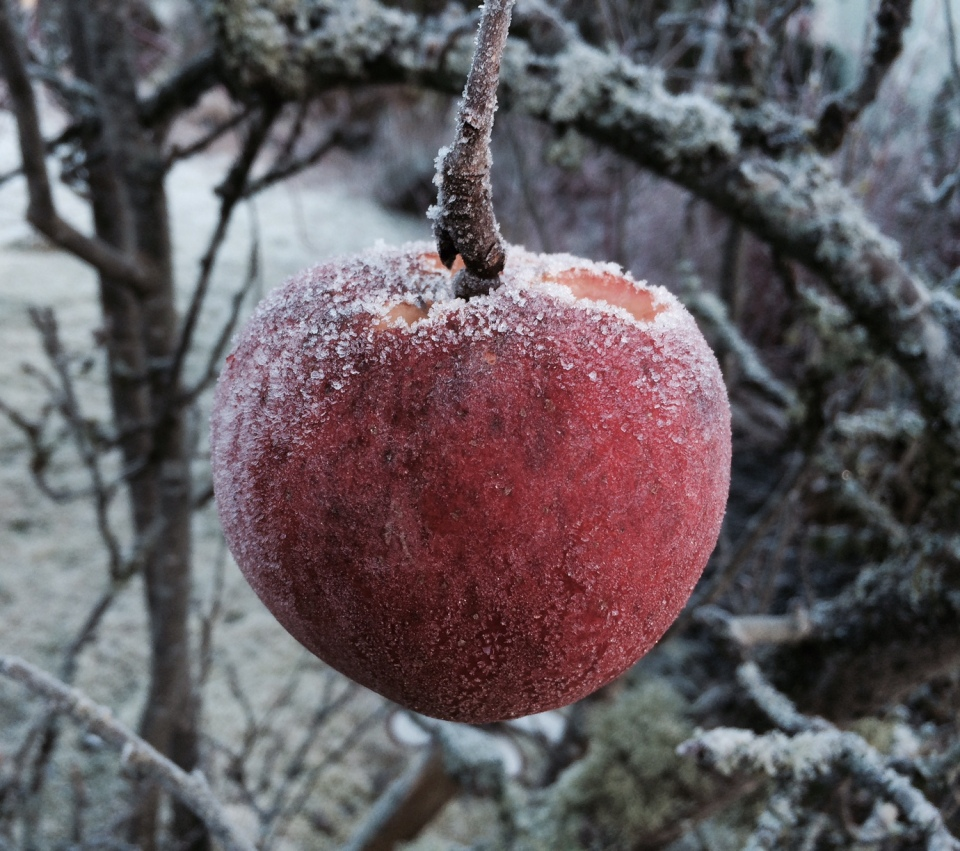 Frozen Apple on a tree